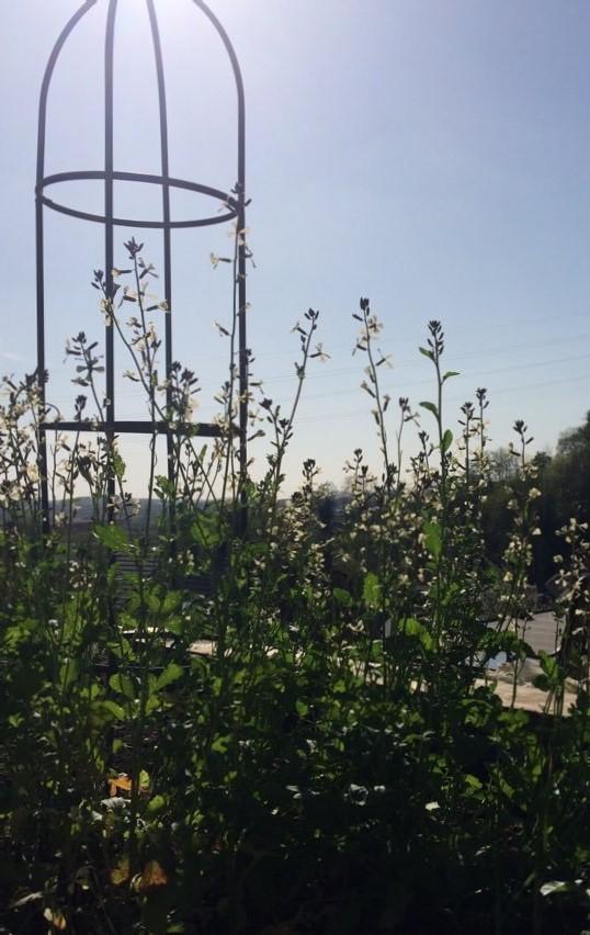 roquette en fleur